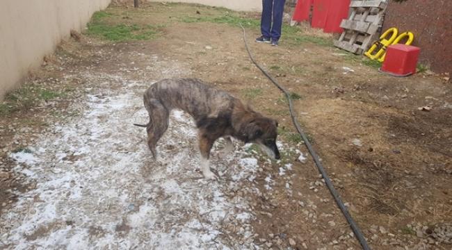 Felçli Köpek HAYKURDER Sayesinde Yeniden Ayağa Kalktı