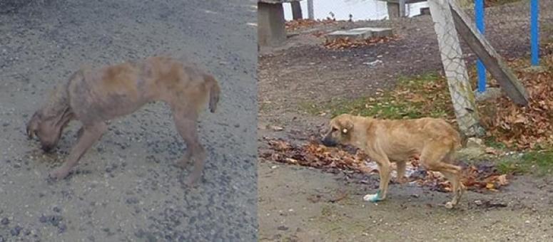 Silivri Belediyesi, Hastalıktan Üzerinde Tüy Kalmayan Köpeği İyileştirdi